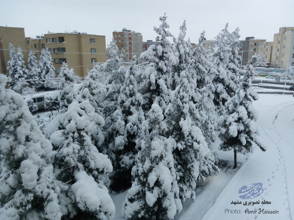 درخت کاج برفی